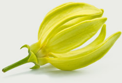 essential oils - ylangylang flower